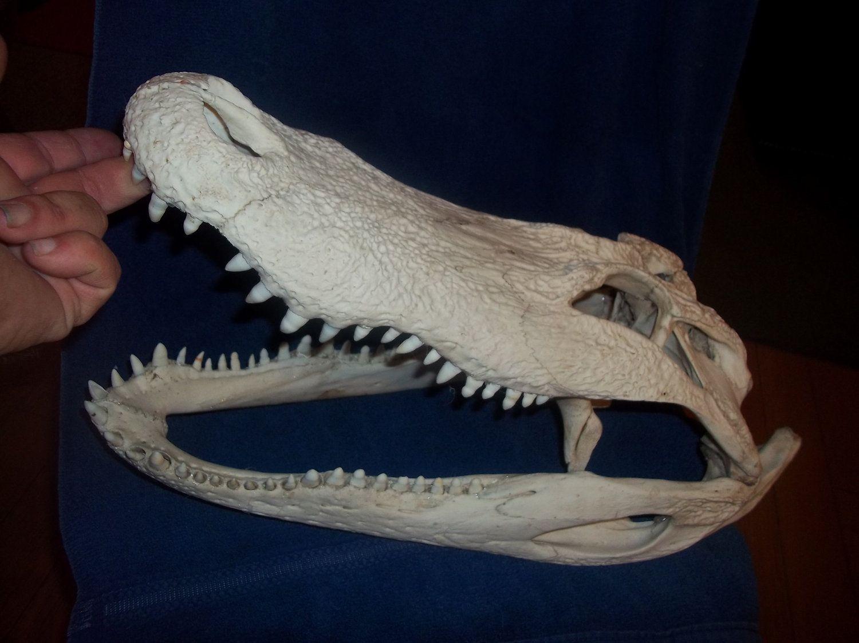 Alligator skull real animal bone part   Bones   Pinterest   Alligators