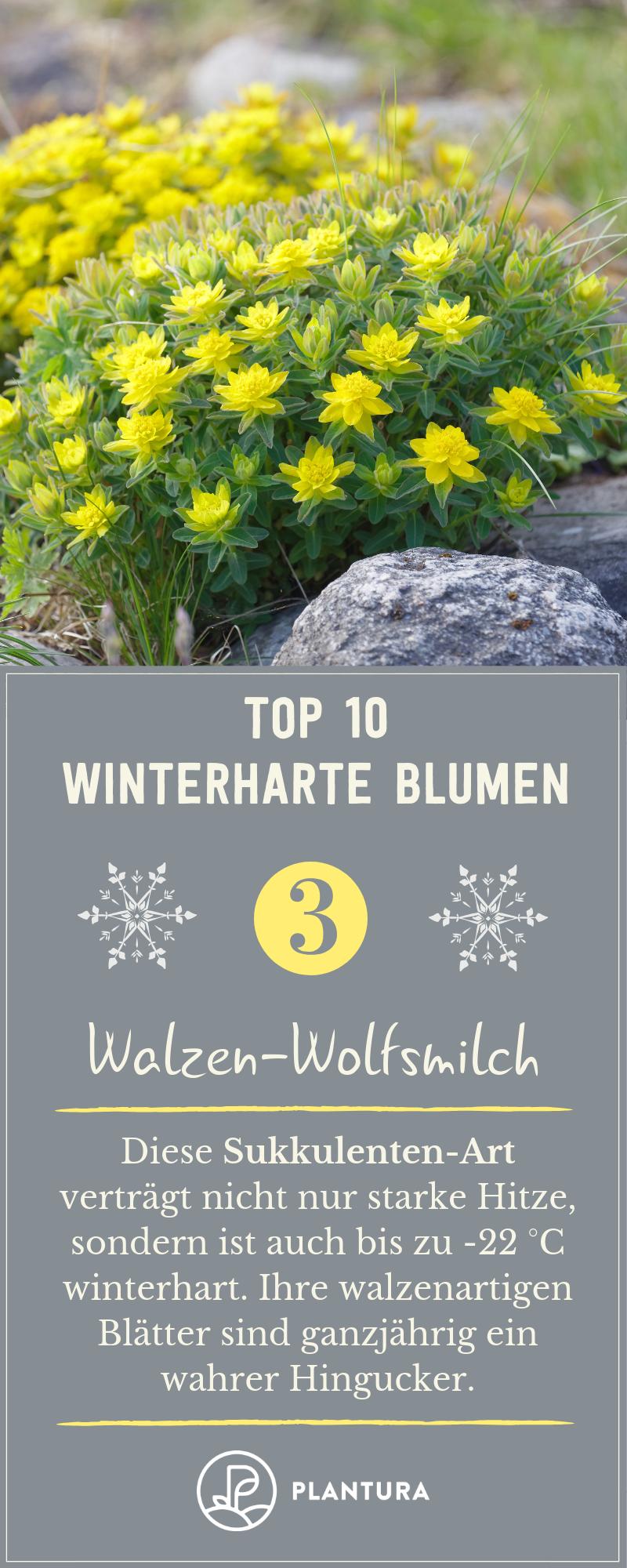 Winterharte Blumen: Diese robusten Sorten trotzen dem Winter