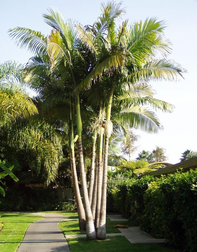 Alexandra Palm - Palms and Cycads, Plants | Palm trees ...