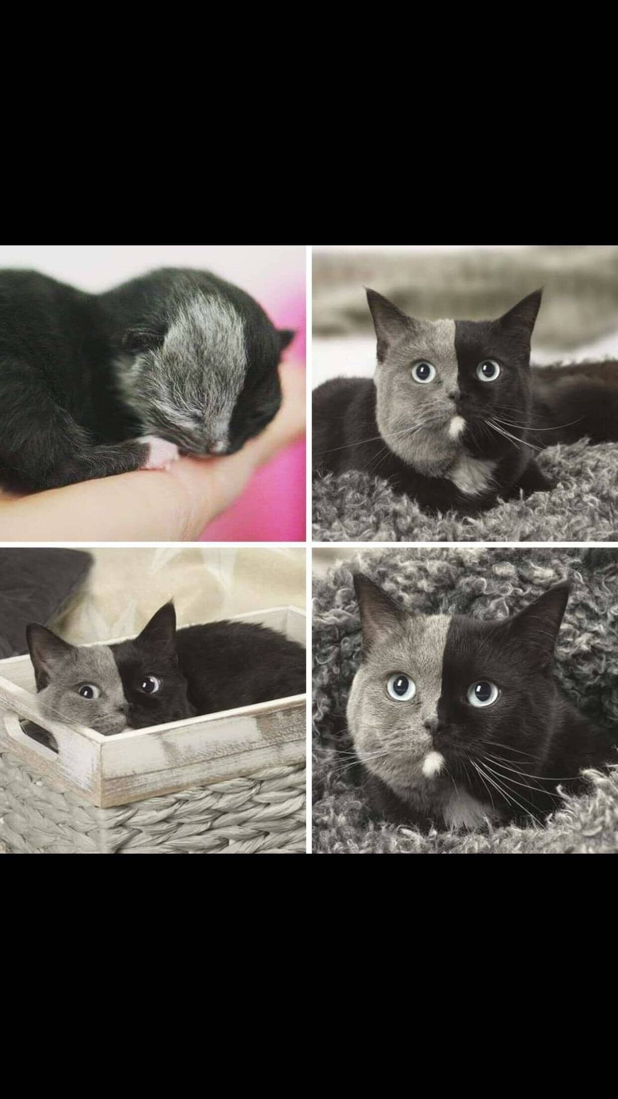 Rare Kitten With Different Face Colours On Catmeme Catsarefunny Funcats Funnycat Funnycatmeme Funnycats F Kitten Pictures Cute Baby Animals Cute Animals