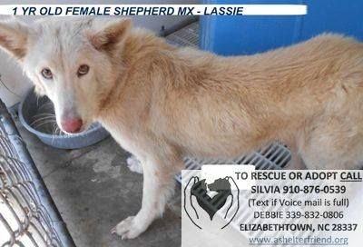 1 YR OLD FEMALE SHEPHERD MX - LASSIE