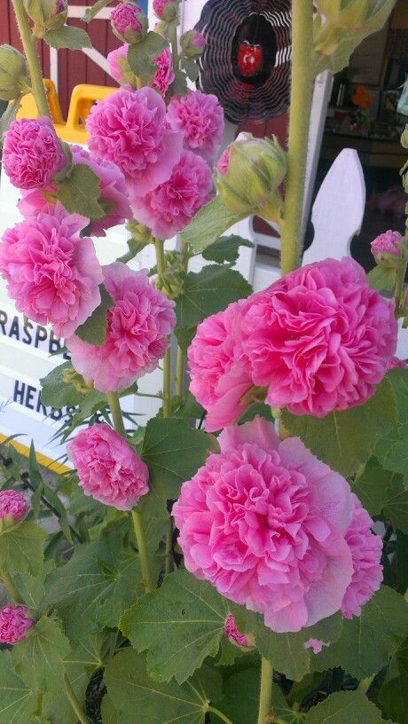 Pin By Karine Beard On Gardening Hollyhocks Flowers Pretty Flowers Pink Flowers