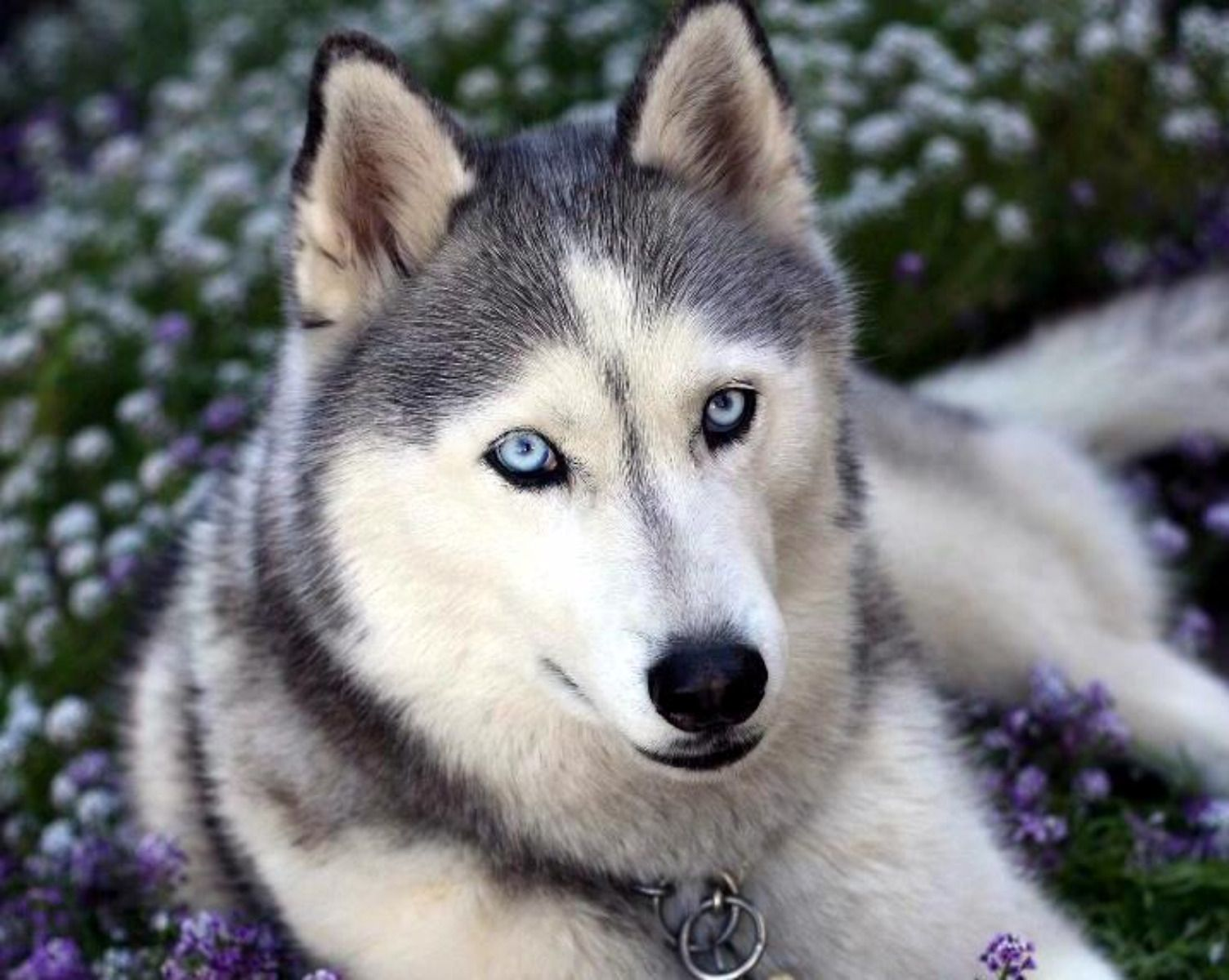 Dog Eyes Flowers Grey Husky Purple Siberian Husky White