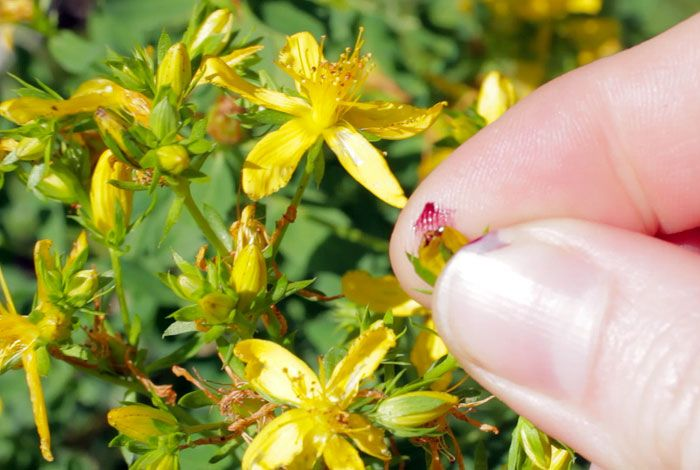 St John S Wort Is A Favorite Ingredient For My Heal All Salve Medicinal Plants Mountain Rose Herbs Herbal Plants
