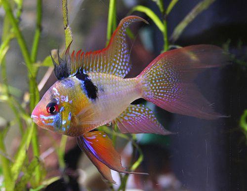 Male Microgeopagus Ramirezi Jorge Garcia1978 Flickr Tropical Fish Tanks Tropical Fish Tropical Freshwater Fish