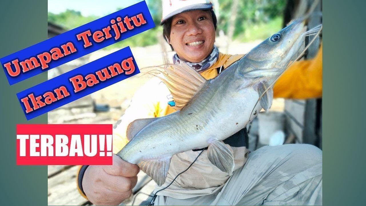 Panen Strike Mancing Ikan Baung Dan Ikan Gurame Umpan Kucur Vs Jangkrik Jangkrik Ikan Panen