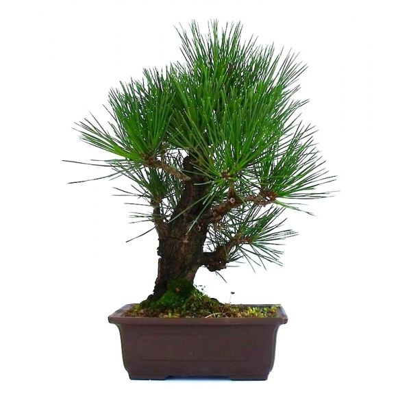 bonsai pinus thunbergii corticosa pin noir du japon 35 cm en vente chez sankaly bonsa. Black Bedroom Furniture Sets. Home Design Ideas