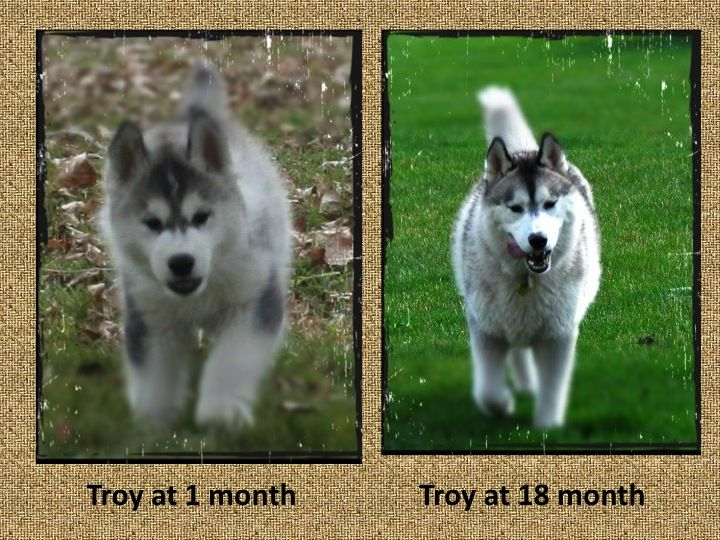 Troy Growing Up Siberian Husky Husky Pets
