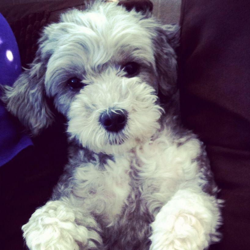 Grey Yorkie Poo Want One Yorkie Poo Cute Puppies Yorkie Poo
