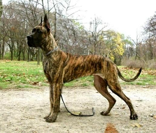 Looks Just Like My Hayden I Miss You Pup Brindle Great Dane