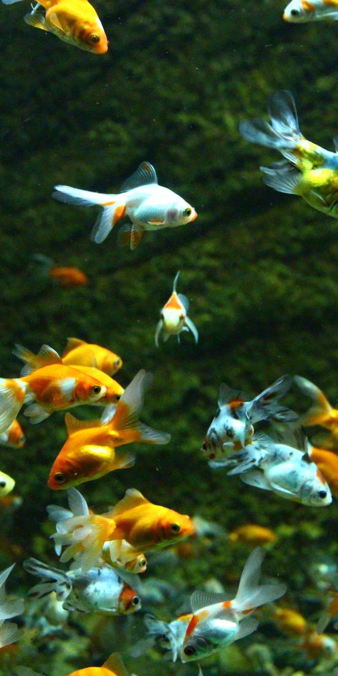 Aquarium Goldfish Swim Underwater 1080x2160 Wallpaper Fish Wallpaper Goldfish Wallpaper Mobile Wallpaper