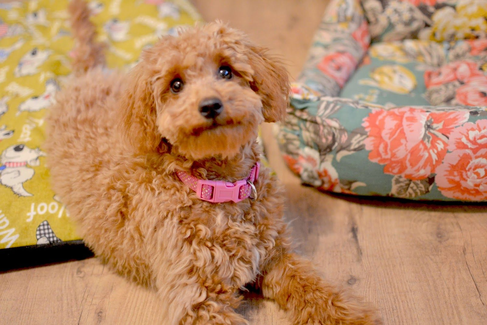 Miniature Poodle Bonnie S First Haircut Dog Breeds Poodle Dog