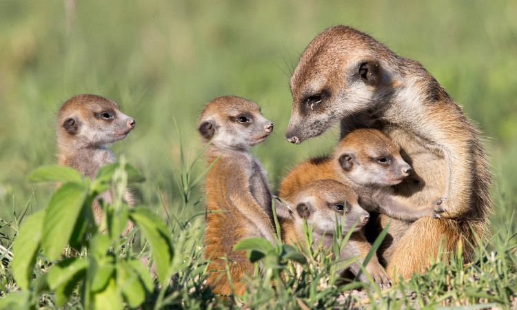 Humans Aren T The Only Ones That Help Out Their Adult Kids Here S Why Animals Do It Too In 2020 Farm Animals Activities Meerkat Animals Wild