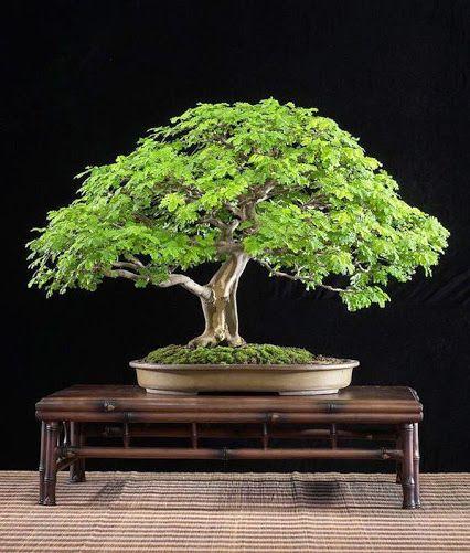 100 Bonsai Ideas Bonsai Bonsai Tree Bonsai Garden