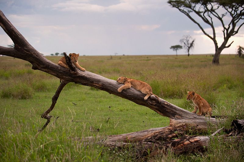 Lion Cubs play on a fallen tree- Srengeti / May