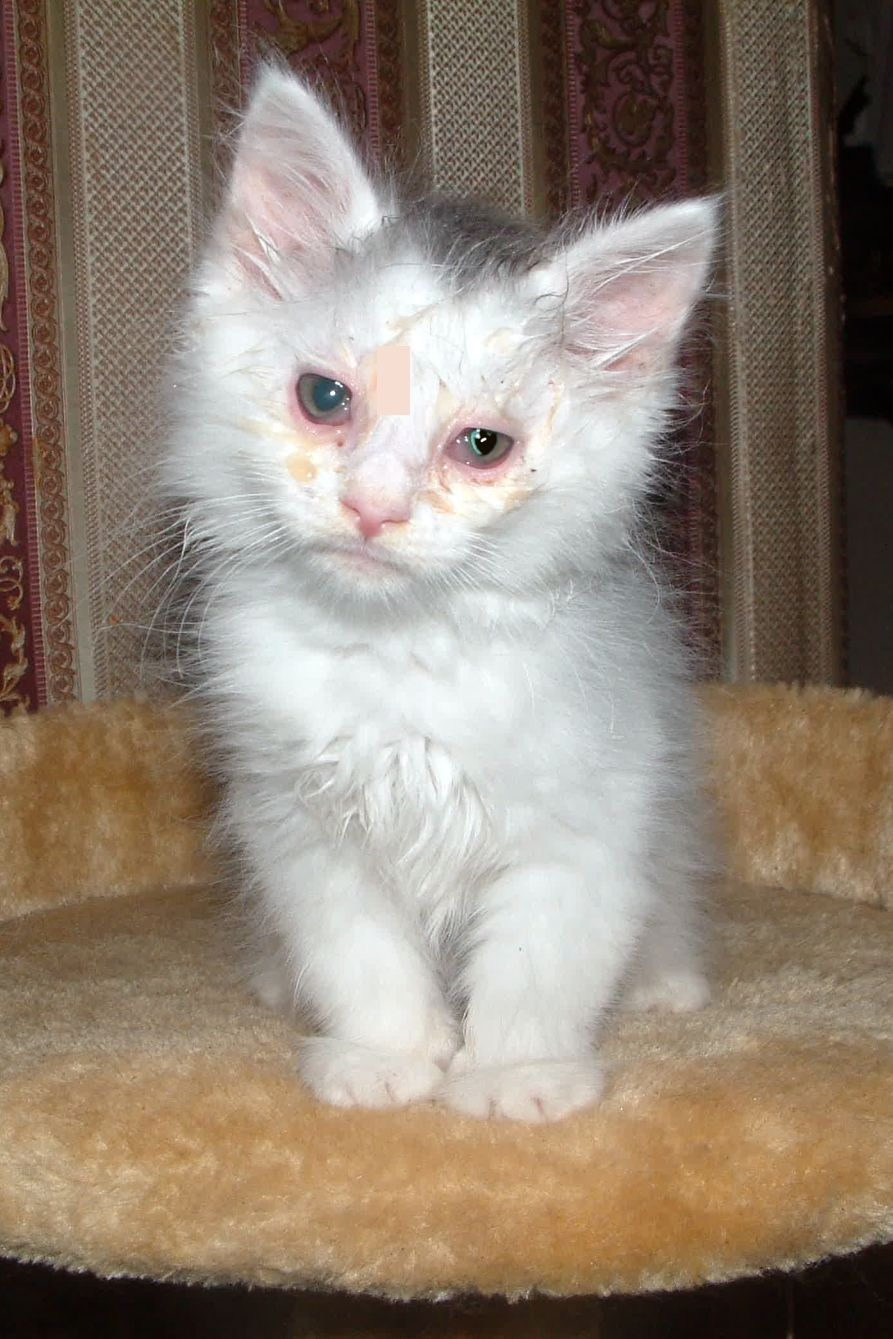 Kitten Pink Eye Pink Eyes Kitten Cat Love