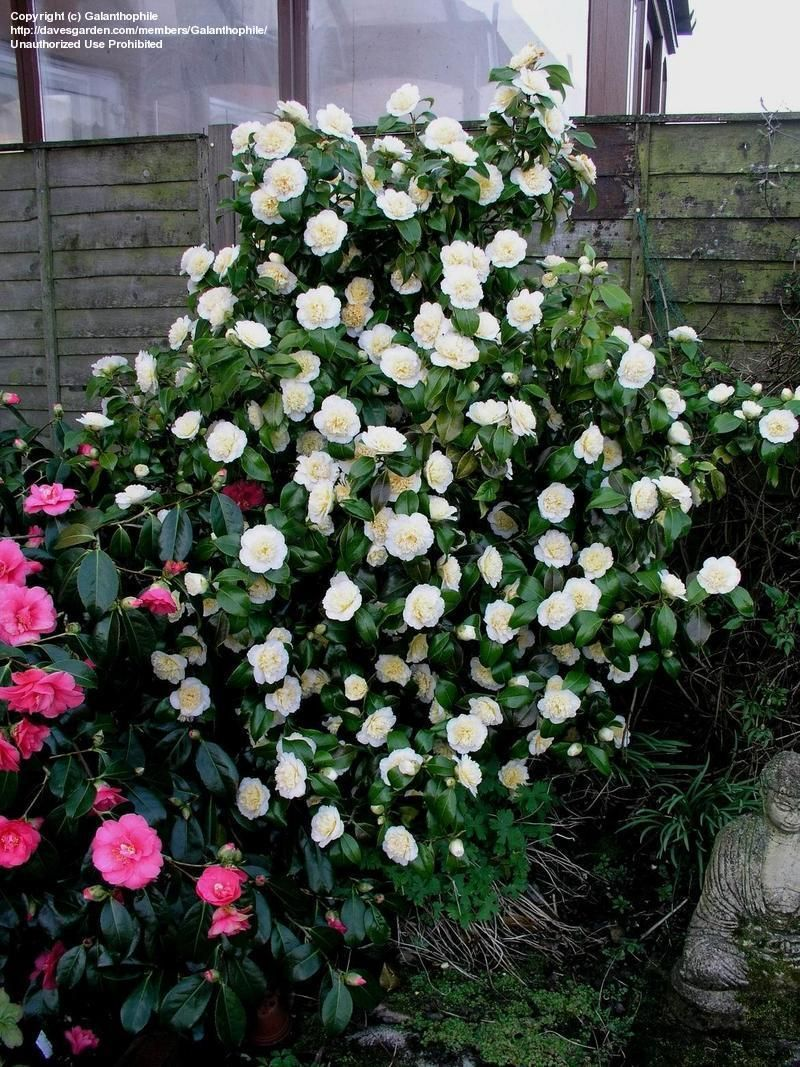 Full Size Picture Of Common Camellia Japanese Camellia Brushfield S Yellow Camellia Japonica Japonica Camellia Evergreen Hedge