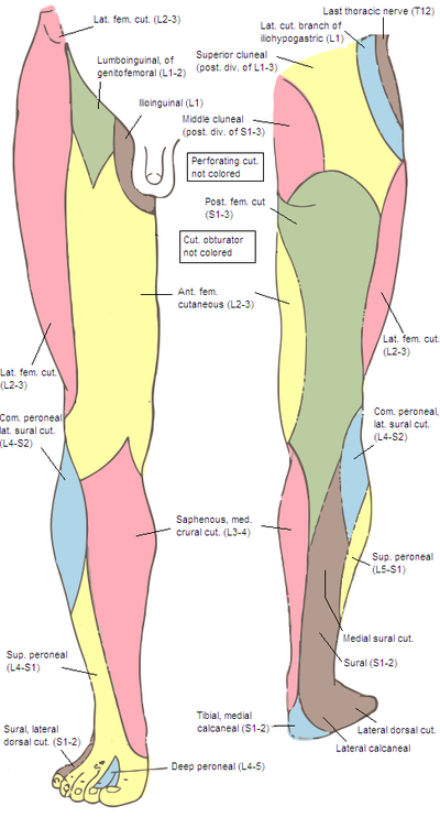 Nerve map of Leg...exactly what is the purpose of the peepee in this illustration?