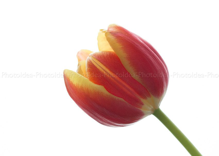 Tulip red and yellow. Macro photography.