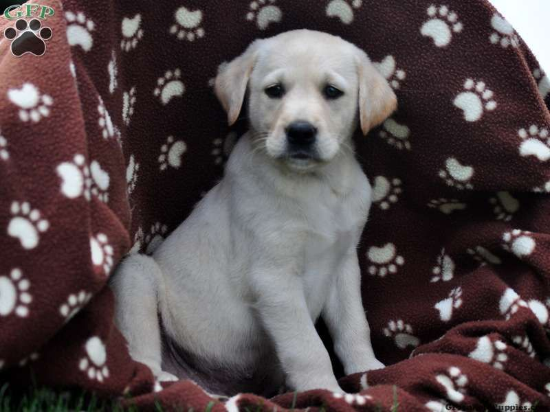 White lab puppies for sale in pa