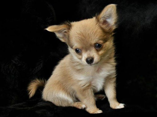 miniature dogs that stay small Dogs1 Most Beautiful