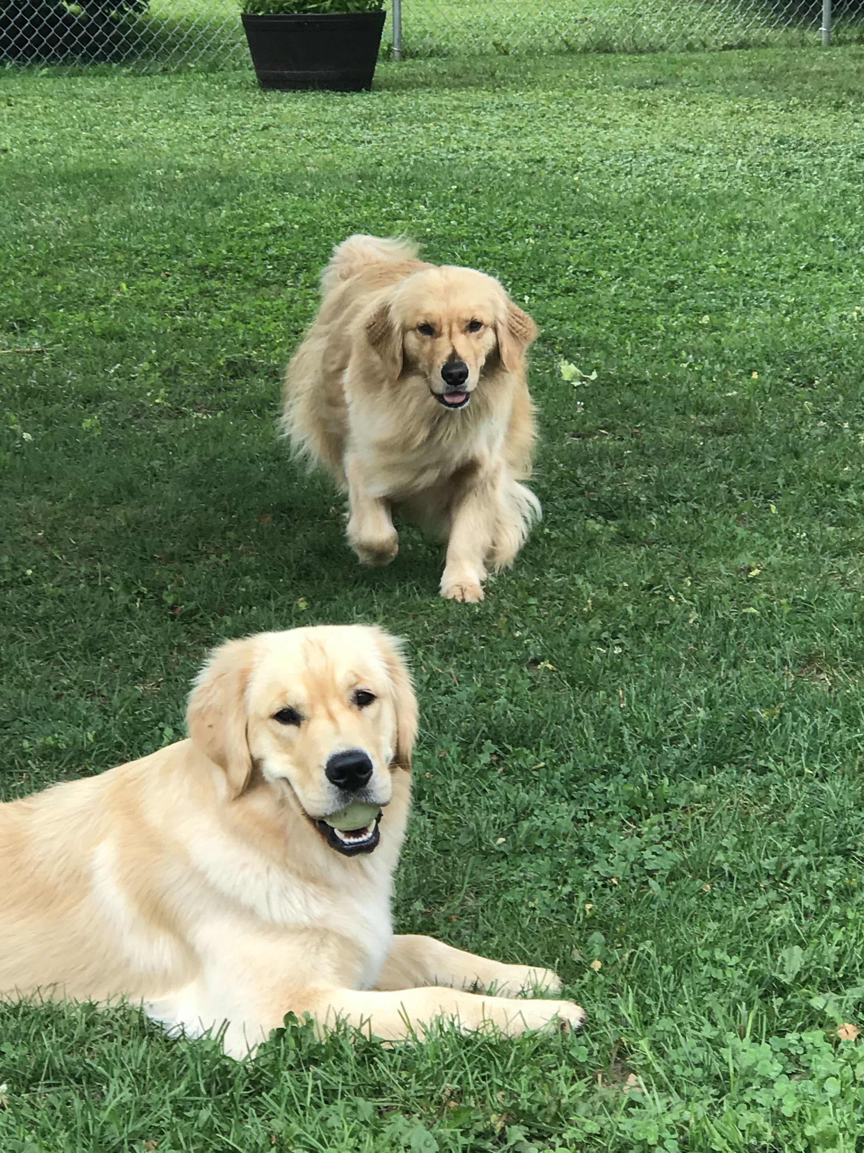 Pin By Paula Vankuiken On Goldens Golden Dog Cute Animals Dogs