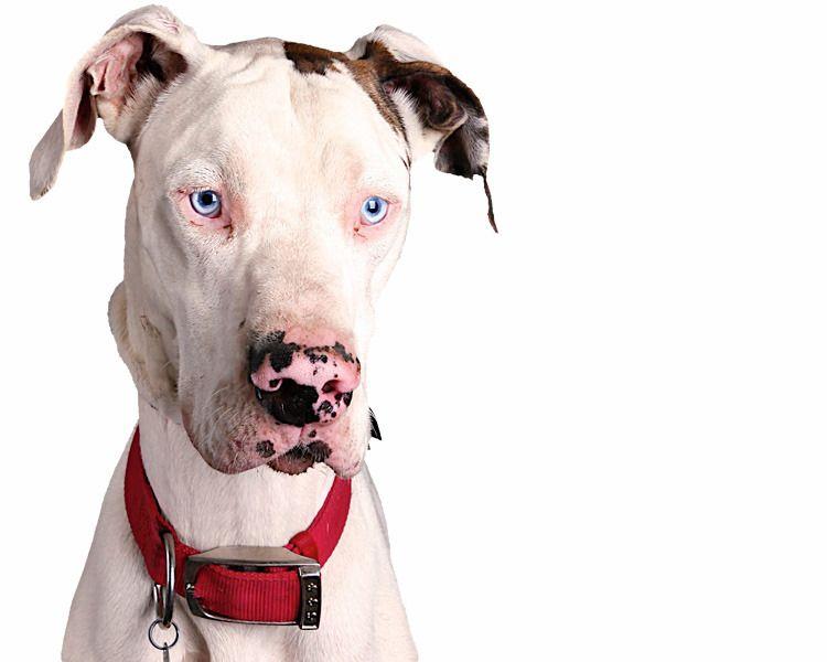 San Antonio Great Dane Rescue Homeward Bound Dog Rescue We Do