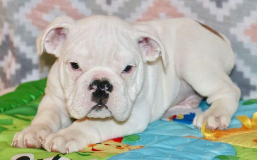 Sarge Is A White Male English Bulldog Puppy With Champion Lines