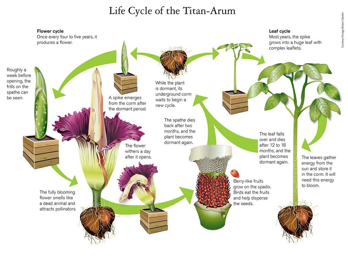 Blooming This Weekend At Nybg Corpse Flower Titan Arum Tucson Botanical Gardens