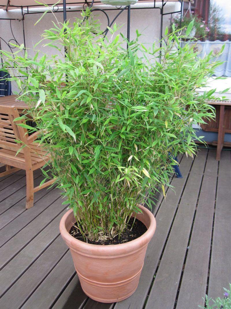 Kann ich Bambus im Kübel halten Bambus im kübel, Bambus