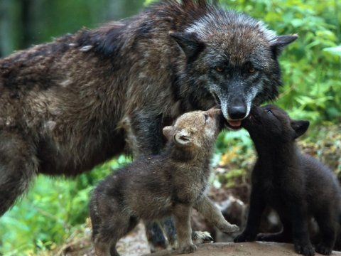 Wolf Baby Wallpapers Wolf Wallpapers Pictures Free Download Baby Wolves Animals Beautiful Animals Wild