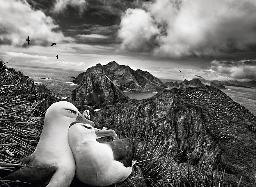 Dois albatrozes-de-sobrancelha em um ninho, com vista para as Ilhas Willis perto da Geórgia do Sul (2009)