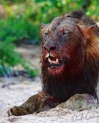 Image result for lions with blood on their face
