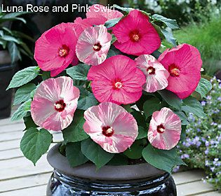 Robertas 3 Pc Top Class Multi Color 2 In 1 Hardy Hibiscus Qvc