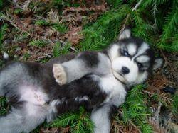 Nakkittas Siberian Huskies Siberian Husky Husky Husky Dogs
