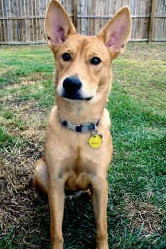 Carolina Dog Carolina Dog Dogs Super Cute Animals