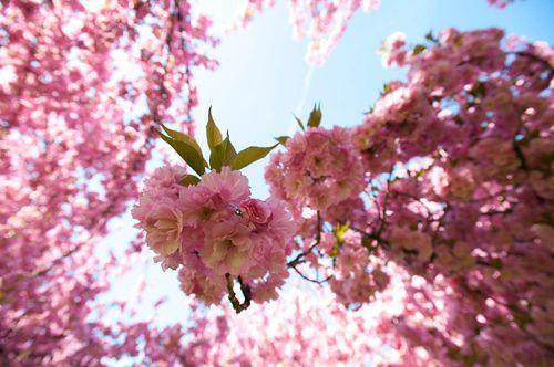 Cherry Blossom Tree At Felpham Churchyard West Sussex Uk Cherry Blossom Tree Blossom Trees Tree