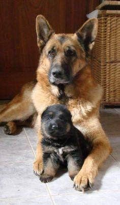 My German Shepherd Newborn Puppy With His Dad German Shepherd