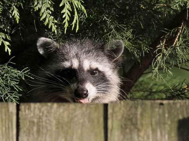 Get Rid Of Raccoons In 4 Easy Steps Getting Rid Of Raccoons