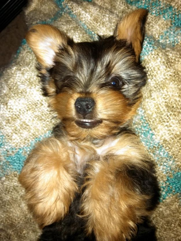 Charlie Yorkie Most Beautiful Dogs Yorkshire Terrier