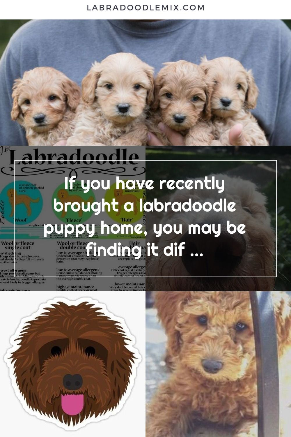 If you have recently brought a labradoodle puppy home, you