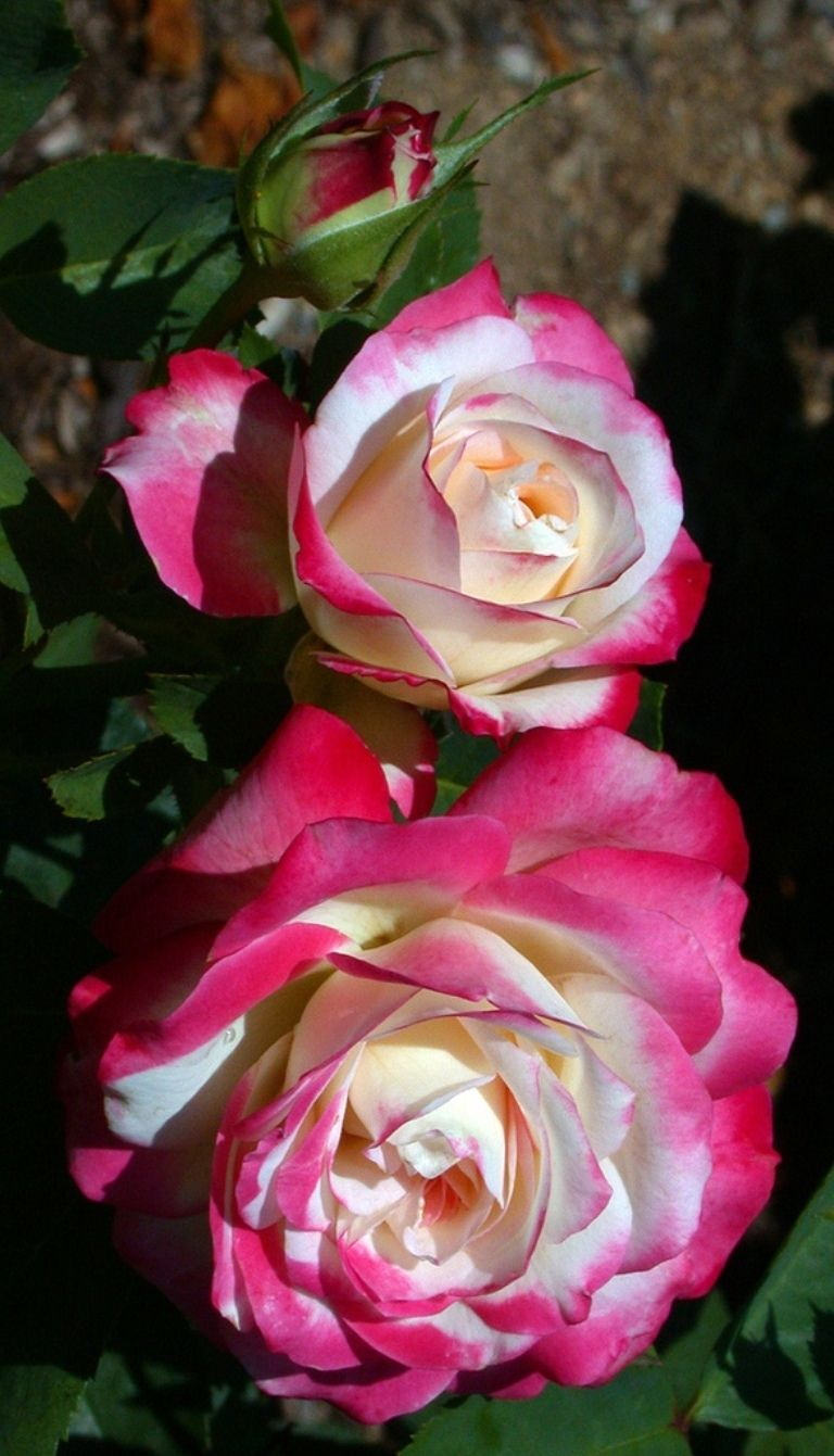 'Cherry Parfait'   Grandiflora, Floribunda Rose. Alain Meilland, 2000  Flickr - © Cap001 - Dan
