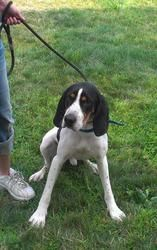Charlie is an adoptable Treeing Walker Coonhound Dog in Aliquippa, PA. My name is Charlie, and I am 2 years old. I am a very active dog. I love to run and play. i enjoy playing with other dogs, althou...