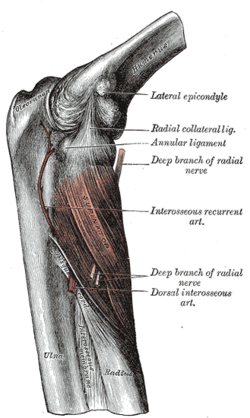 Supinator OriginLateral epicondyle of humerus, supinator crest of ulna, radial collateral ligament, annular ligament InsertionLateral proximal radial shaft ArteryRadial recurrent artery NerveDeep radial nerve, ActionsSupinates forearm AntagonistPronator teres, pronator quadratus