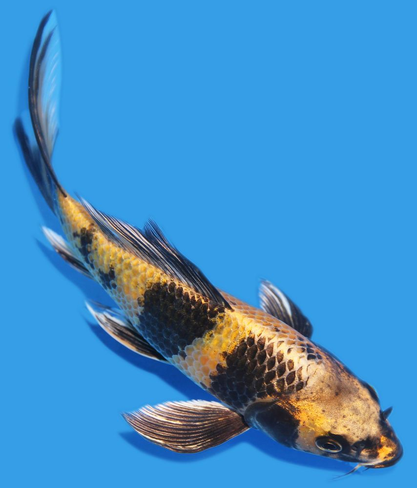 Live Koi Fish 7 Kin Ki Utsuri Butterfly Yellow Black Koibay
