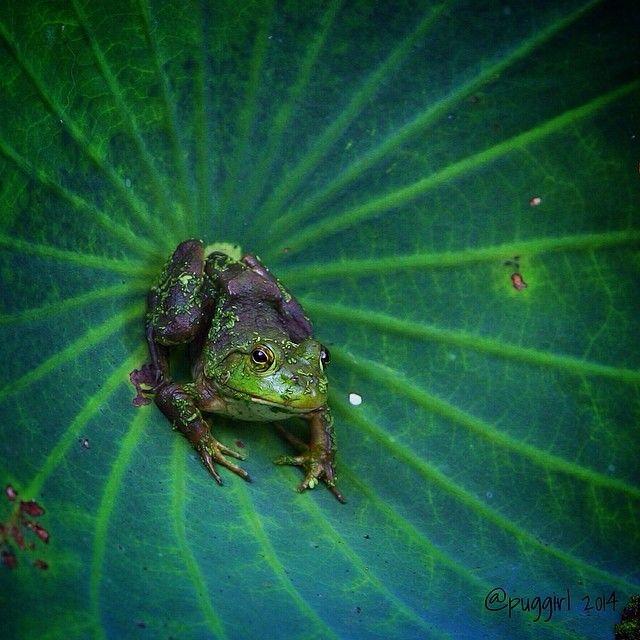 American Bullfrog. Photo by Mary Jo Mcclain