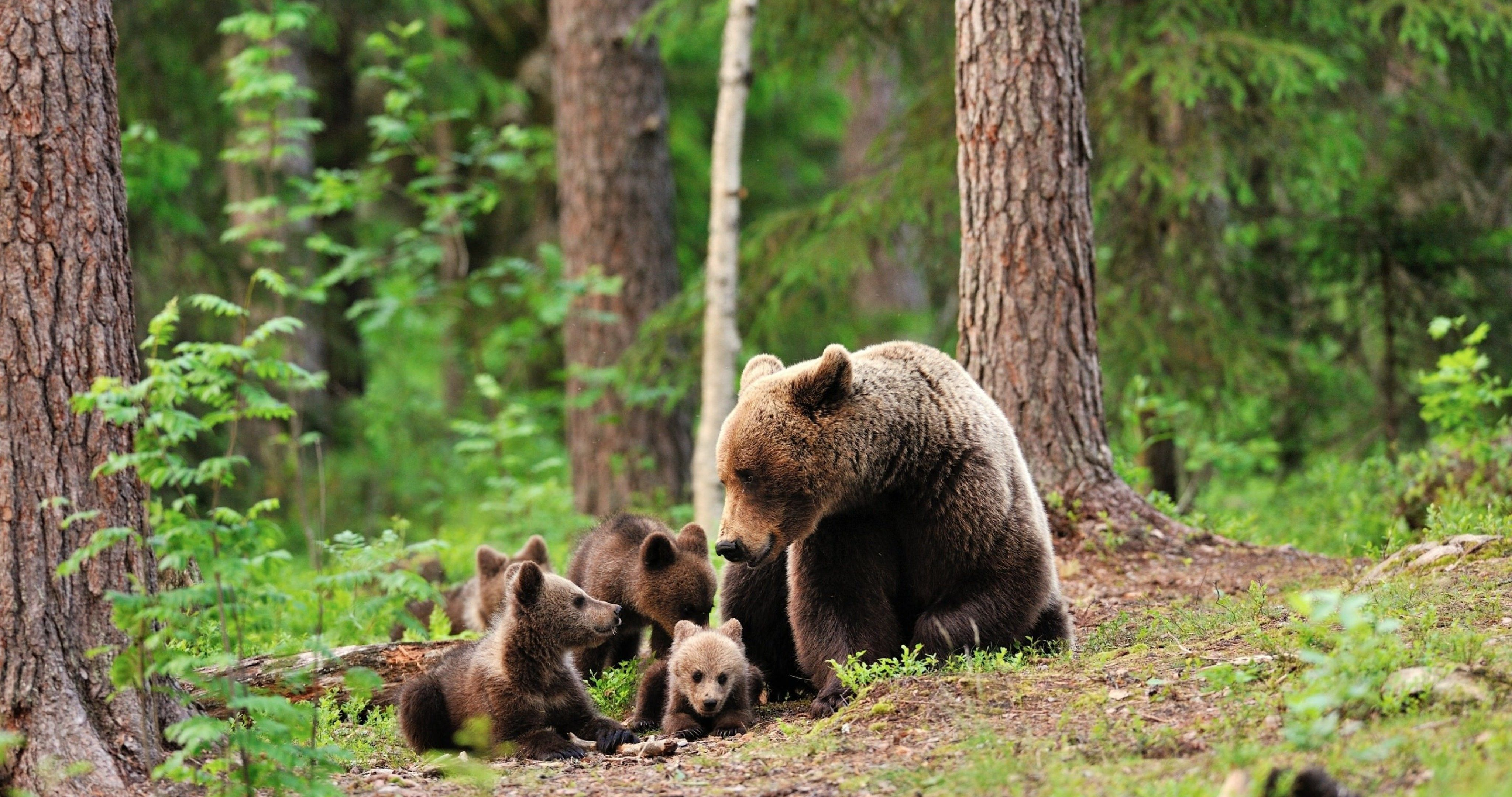 bears family in forest hd wallpaper 4k ultra hd wallpaper