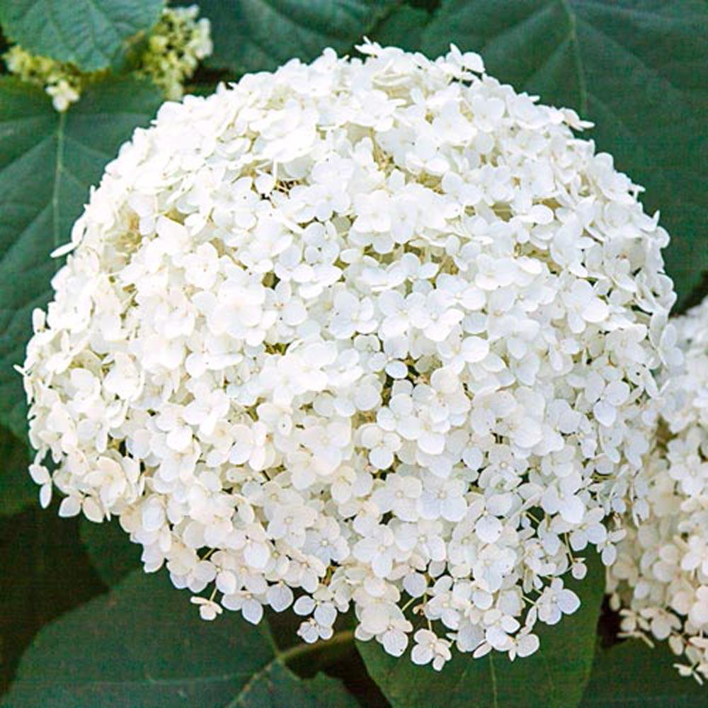 Spring Hill Nurseries 2 In Pot Annabelle Hydrangea Live Deciduous Plant White Flower With Green Foli Annabelle Hydrangea Spring Hill Nursery Hydrangea Shrub