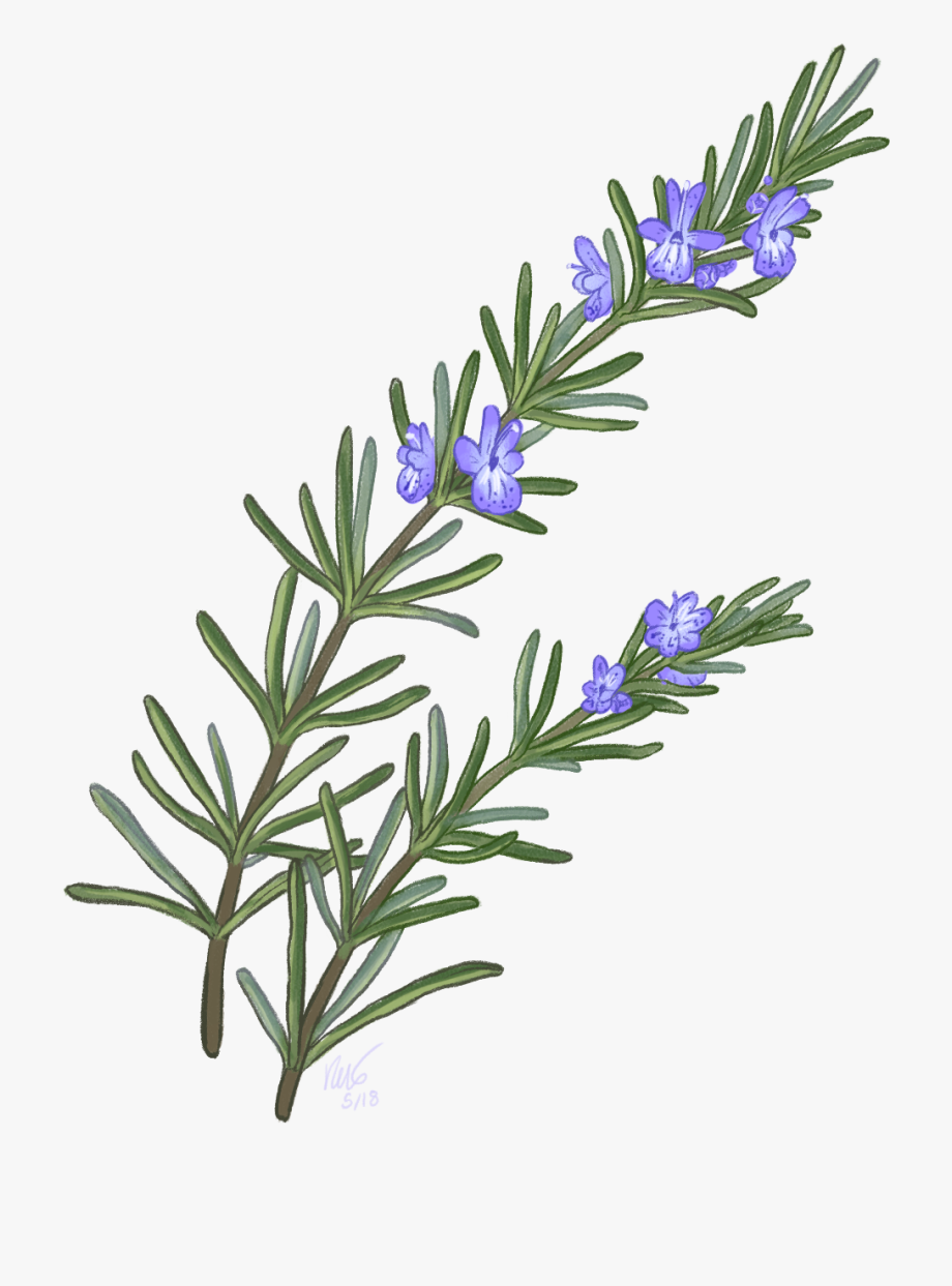 Download And Share Simple Rosemary Flower Drawing Cartoon Seach More Similar Free Transparent Cliparts Carttons And Flower Drawing Rosemary Flower Drawings