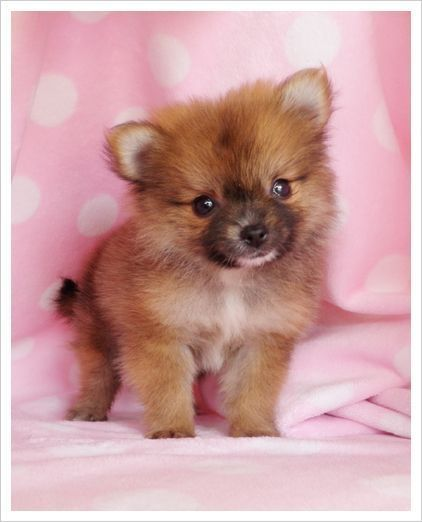 Teacup Puppy #pomeranian   Teacup puppies, Puppies, Pomeranian puppy for sale